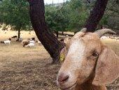 Grazing goats return to Menlo Park