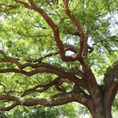 Volunteers sought for Heritage Tree Task Force