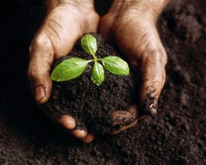 Cupped hands holding soil and plant
